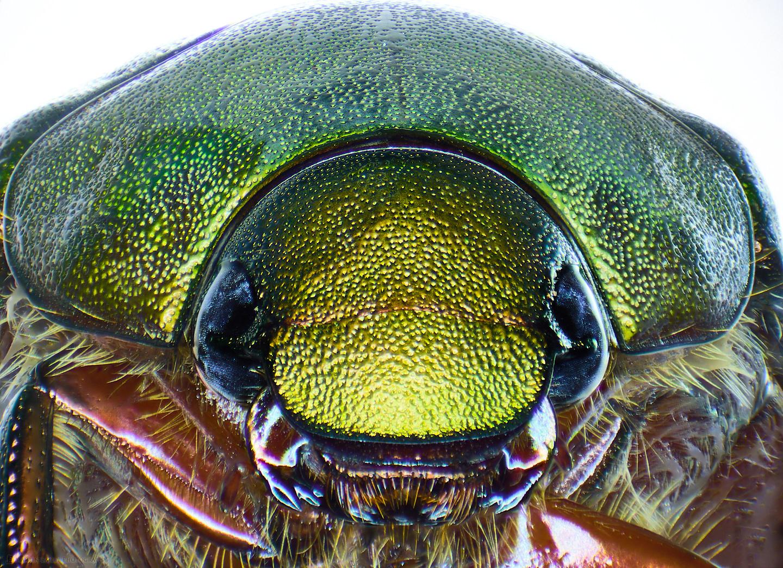 Scarab Portrait (15X 75 Frames Stereo Microscope)