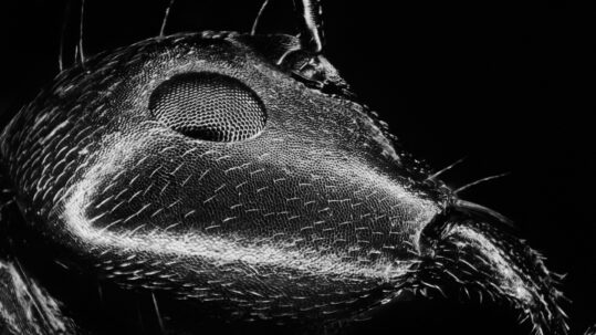 Ant Face (Polyrhachis moesta 76X 25 frame stack)
