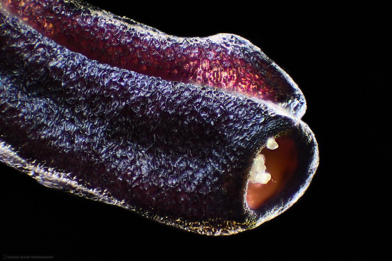 Pollen Tubes on Azalea Anther (100X 100 frame stack)